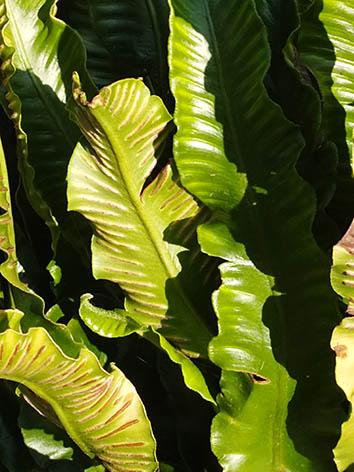 Lil'o bambous - Fougère scolopendre