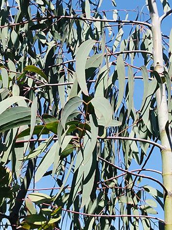 Lil'o bambous - Eucalypthus