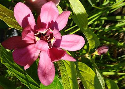 Lil'o bambous - Calycanthus aphrodite