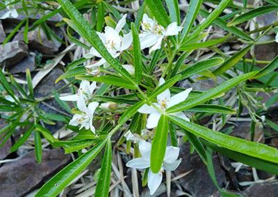 Lil'o bambous - Oranger du Mexique