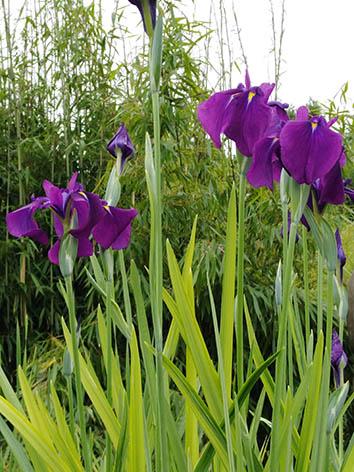 Lil'o bambous - Iris kaempferi