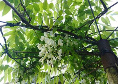 Lil'o bambous - Glycine blanche sur pied