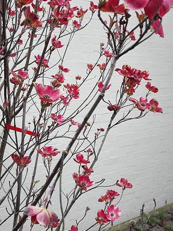 Lil'o bambous - Cornus florida rubra