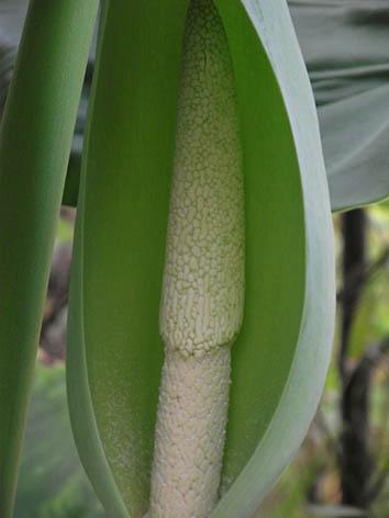 Lil'o bambous - Oreille d'éléphant détail de la fleur - Allocasia - Craint le gel