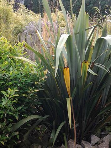 Lil'o bambous - Phornium tenax