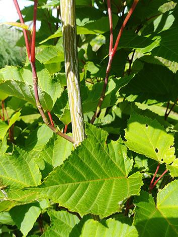 Lil'o bambous - Acer antoine - détail du tronc strié de blanc