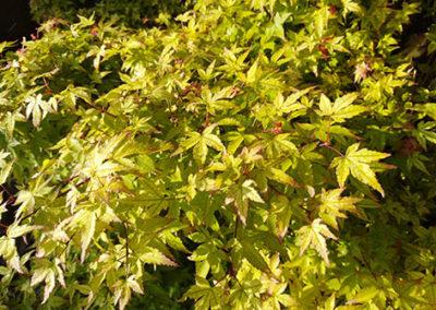 Lil'o bambous - Acer little princess - détail des feuilles