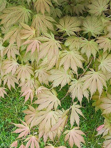 Lil'o bambous - Acer nathan en été