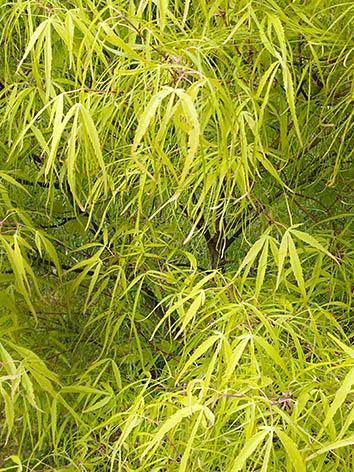 Lil'o bambous - Acer palmatum ao shichigosan - feuillage