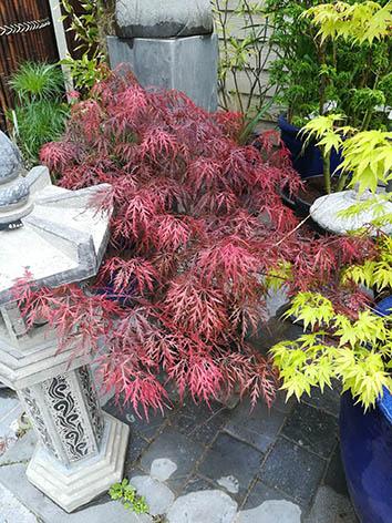 Lil'o bambous - Acer palmatum dissectum Garnet