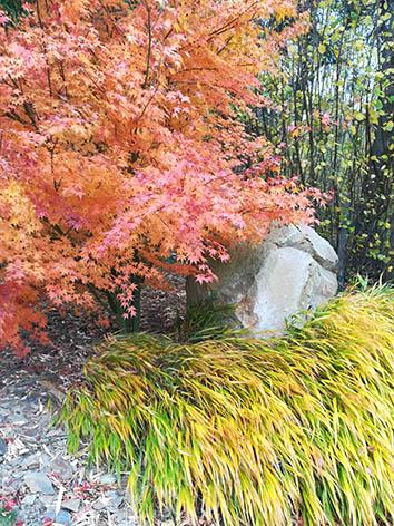 Lil'o bambous - Acer palmatum en automne