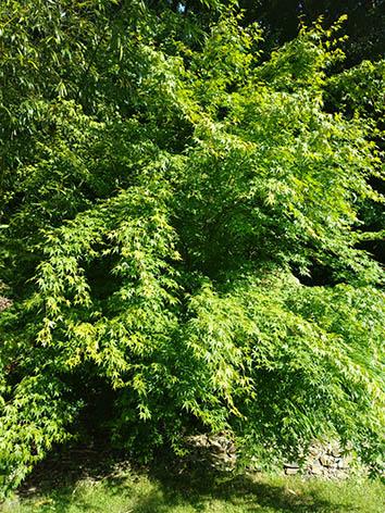 Lil'o bambous - Acer palmatum