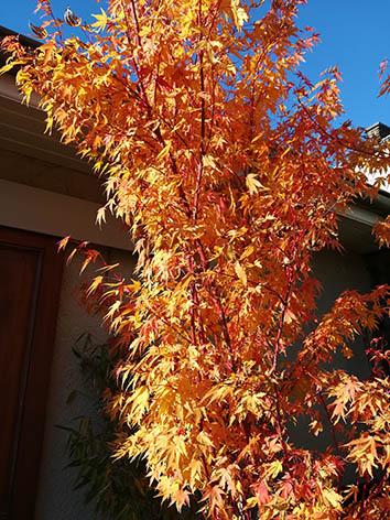 Lil'o bambous - Acer sango kaku en automne
