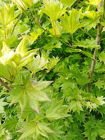Lil'o bambous - Acer shirasawanum aureum - détail des feuilles