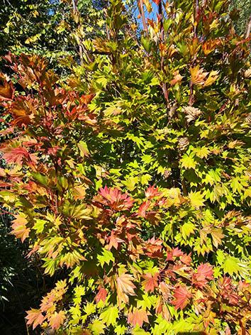 Lil'o bambous - Acer shirasawanum aureum en automne