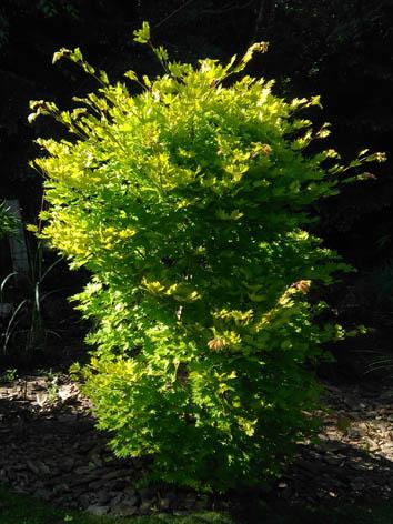 Lil'o bambous - Acer shirasawanum aureum - feuillage très lumineux dans les coins sombres