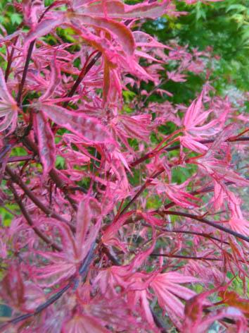 Lil'o bambous - Acer shirazz au printemps avec son rose éclatant