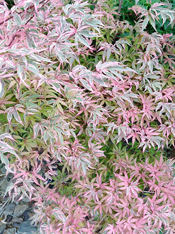 Lil'o bambous - Acer shirazz en été