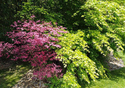 Lil'o bambous - Acer shirazz et Acer palmatum