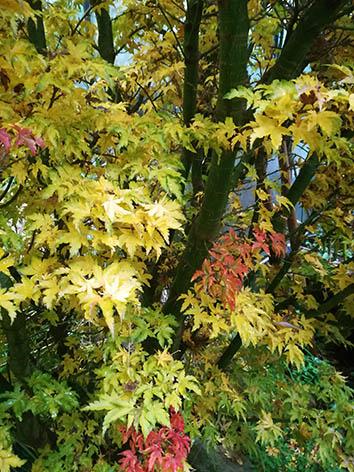 Lil'o bambous - Acer shishigashira en automne