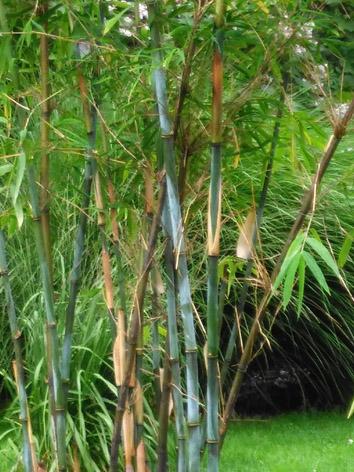 Lil'o bambous - Borinda yunnan 4 (lushuiensis) dans notre jardin