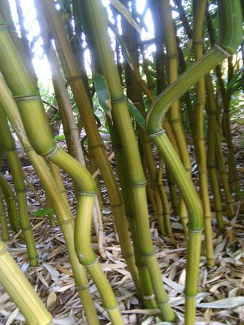 Lil'o bambous - Cannes anguleuses de Phyllostachys aureosulcata harbin inversa
