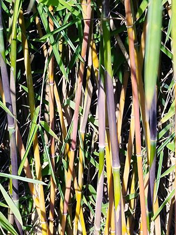 Lil'o bambous - Cannes de fargesia Jiuzhaigou 1