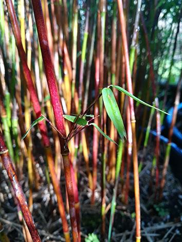 Lil'o bambous - Cannes de fargesia Jiuzhaigou 1 rouges selon la saison