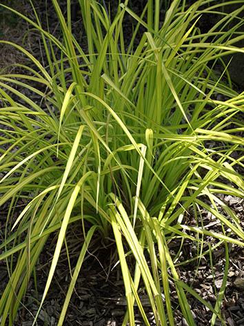 Lil'o bambous - Carex aurea