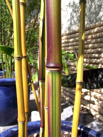 Lil'o bambous - Coloration des jeunes cannes de Phyllostachys aureosulcata spectabilis
