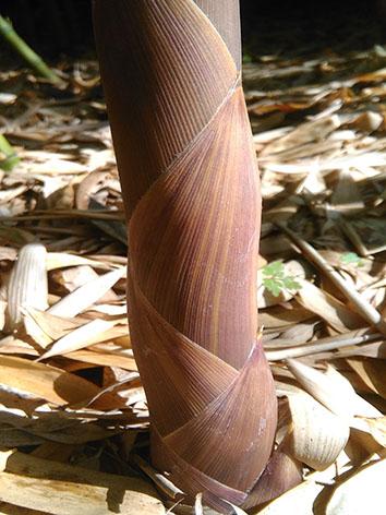 Lil'o bambous - Couleur tendre de turions Phyllostachys parvifolia