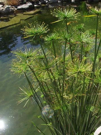 Lil'o bambous - Cyperus haspan près de l'étang
