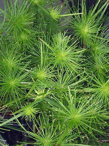 Lil'o bambous - Cyperus haspan