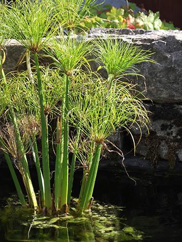 Lil'o bambous - Cyperus papyrus dans l'étang