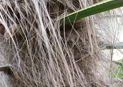 Lil'o bambous - Détail des crins du tronc du Trachycarpus fortunei