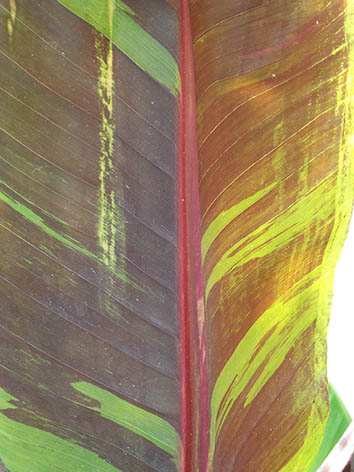 Lil'o bambous - Détail du feuillage strillé du Musa sikkimensis Red Tiger, bananier Darjeeling