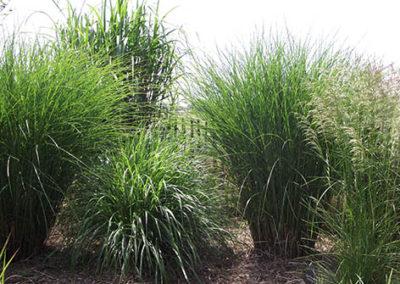 Lil'o bambous - Ensemble de graminées - Miscanthus floridulus - M. gracilimus - Pennisetum Hameln et Deschampsia cespitosa
