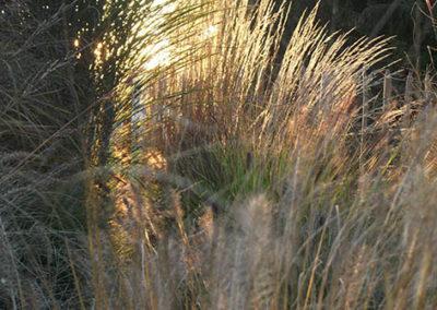 Lil'o bambous - Ensemble de graminées au soleil couchant