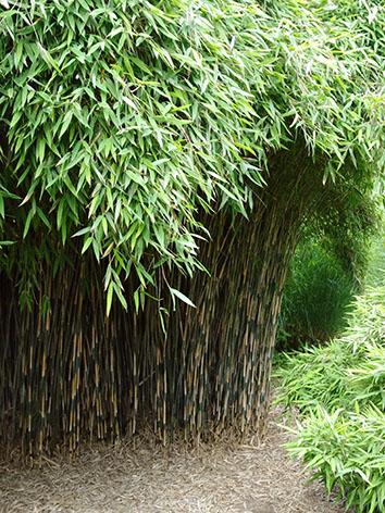 Lil'o bambous - Fargesia nitida great wall