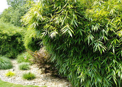 Lil'o bambous - Fargesia robusta pingwu et au fond fargesia nitida black pearl