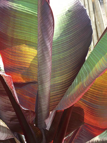Lil'o bambous - Feuillage rouge bordeau du Musa Esente maurelli