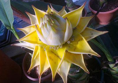 Lil'o bambous - Fleur lotus du Musella lasiocarpa