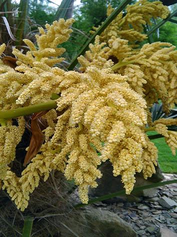 Lil'o bambous - Fleurs de Trachycarpus fortunei
