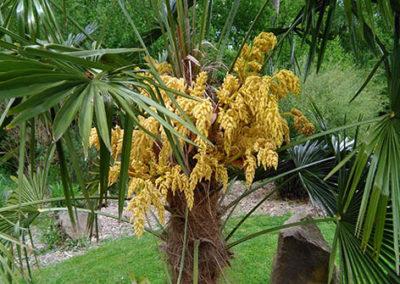 Lil'o bambous - Floraison spectaculaire de Trachycarpus fortunei