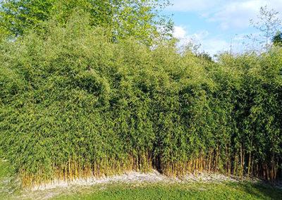 Lil'o bambous - Haie de fargesia jiuzhaigou 1