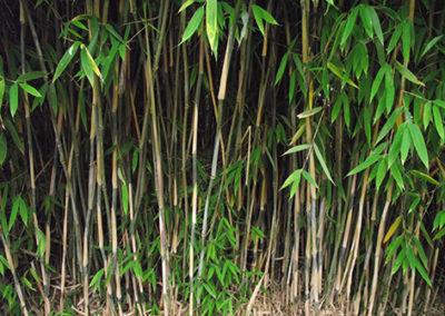 Lil'o bambous - Haie de fargesia nitida great wall