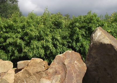 Lil'o bambous - Haie de fargesia rufa