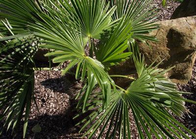 Lil'o bambous - Jeune Trachycarpus wagnerianus
