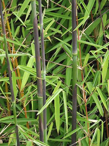 Lil'o bambous - Jeune cannes de Fargesia Juizhaigou 1 avec leurs gaines de teinte aubergine