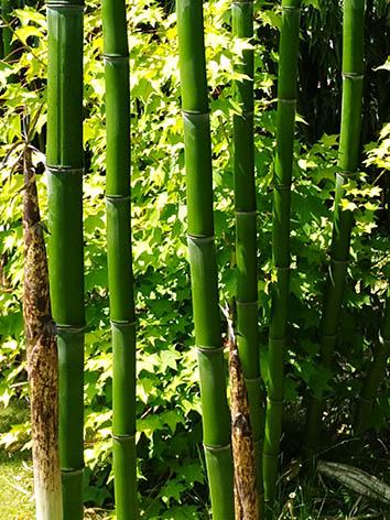 Lil'o bambous - Jeunes cannes de Phyllostachys prominens